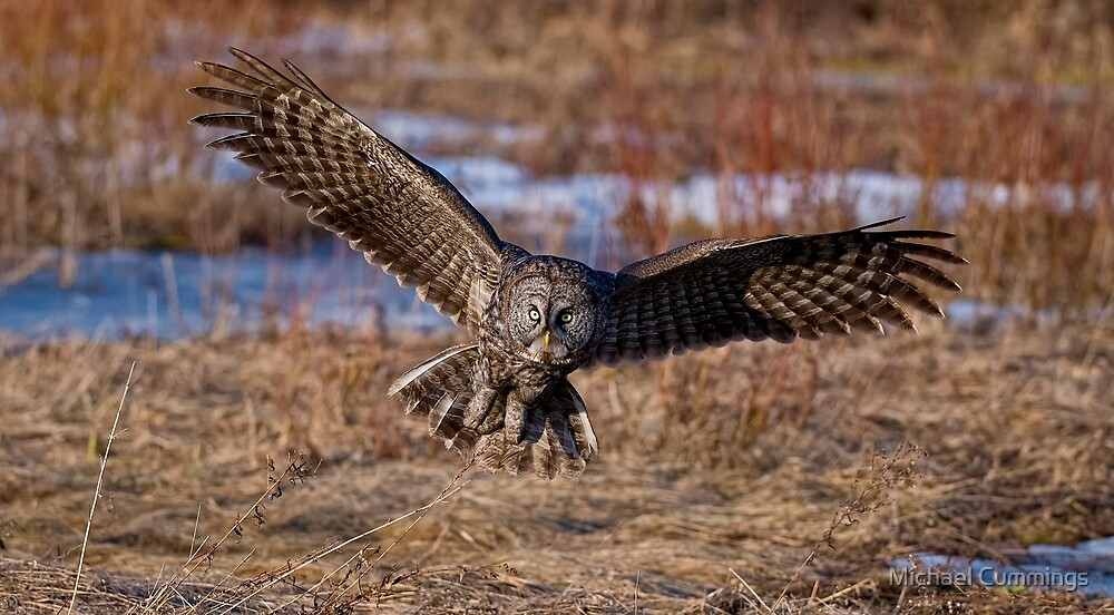 Great Gray Owl in Flight - Ottawa, Ontario - 2 by Michael Cummings