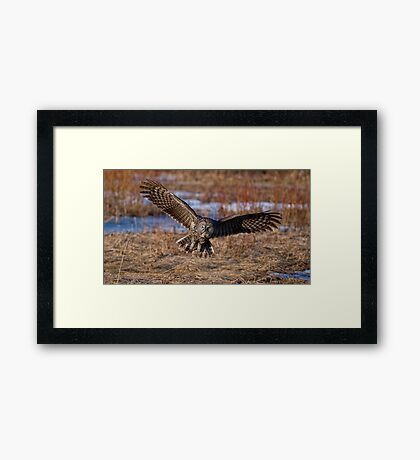 Great Gray Owl in Flight - Ottawa, Ontario - 2 Framed Print