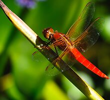 Red Dragonfly by Charles Dobbs Photography