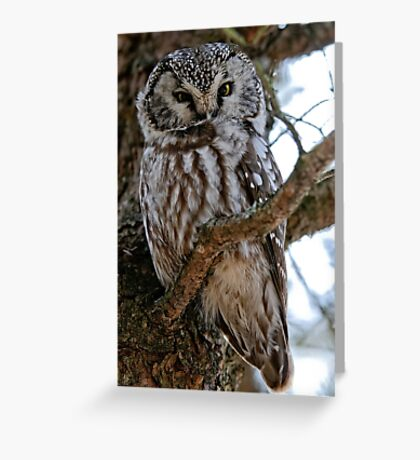 Boreal Owl - Amherst Island, Ontario - 3 Greeting Card