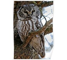 Boreal Owl - Amherst Island, Ontario - 3 Poster