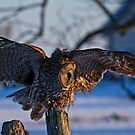 Great Gray Owl on Post - Dunrobin Ontario by Michael Cummings