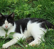 Black and White Cat by rhamm