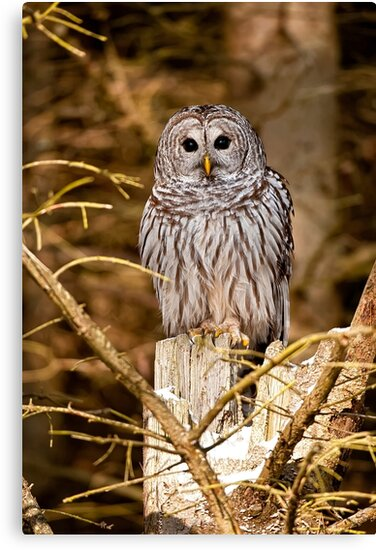 Barred owl on Tree Stump by Michael Cummings
