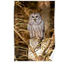 Barred owl on Tree Stump Poster