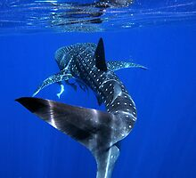 Whale Shark 2 - Ningaloo Reef by wagsy