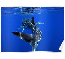 Whale Shark 2 - Ningaloo Reef Poster