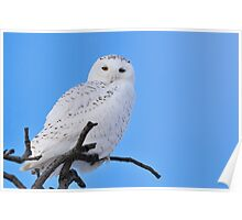 Snowy Owl in Tree Poster