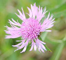 Flower by XkeoP