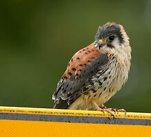 Common Kestrel - II (Falco tinnunculus) by Peter Wiggerman