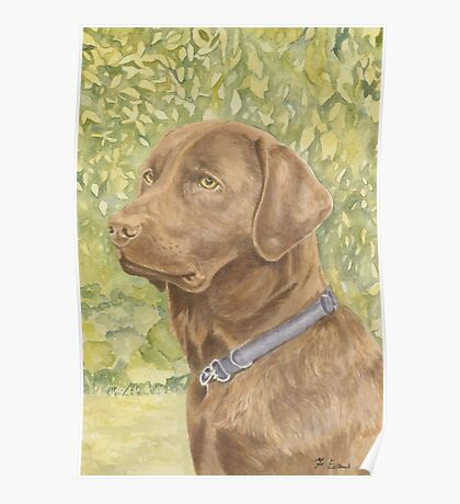 Holly - The Chocolate Labrador Poster