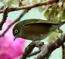 Hey!! You down there! - Silvereye - NZ by AndreaEL