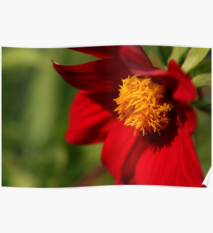 Bright red flower Poster
