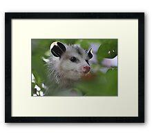 The clever little possum Framed Print