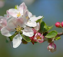 Apple Blossom at Ryton Organic by Maire52