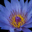 Blue Water Lily by Diego Re