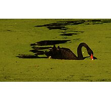 """Black Swan"" Photographic Print"