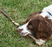 English Springer Spaniel playing with stick by Joanne Emery