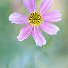 Coreopsis rosea by Mandy Disher
