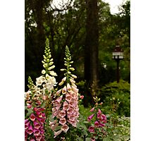 Foxgloves in Cottage Garden Photographic Print