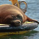 Sleeping Sea Lion by Anne McKinnell