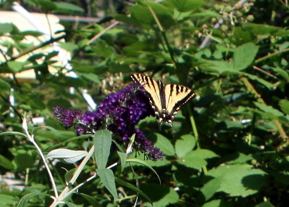Tiger Swallowtail on Butterfly bush by Lorrie Davis