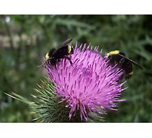 Thistle Bumble Bees Photographic Print