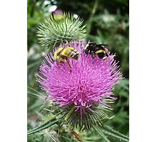 Thistle Bees Photographic Print