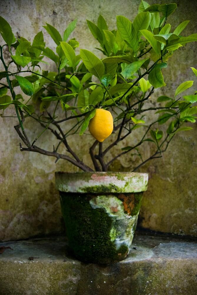 u0026quot lemon tree pot u0026quot  by leannemm
