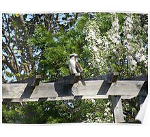 kookaburra resting Poster
