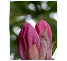 Pink Rhododendron Buds Poster