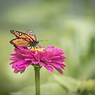 Monarch On Zinnia 2-2015 by Thomas Young