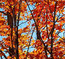 Vermont Red Maples by Susan R. Wacker