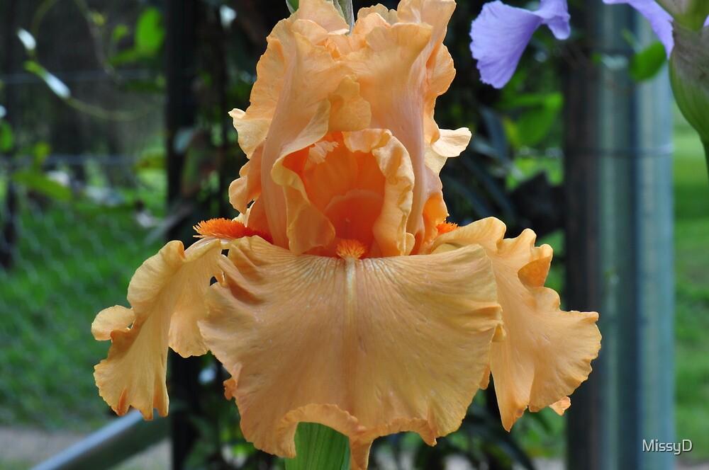 Orange Iris Beauty by MissyD