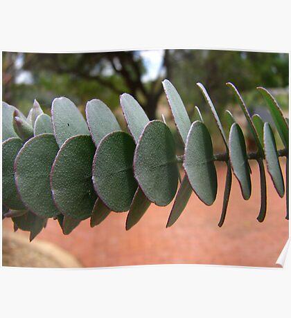 Cranbourne - Spinning gum at Australian Botanical Gardens Poster