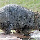 Wombat, Beerwah, Queensland, Australia by Adrian Paul