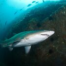 Grey Nurse Shark  by Stephen Colquitt
