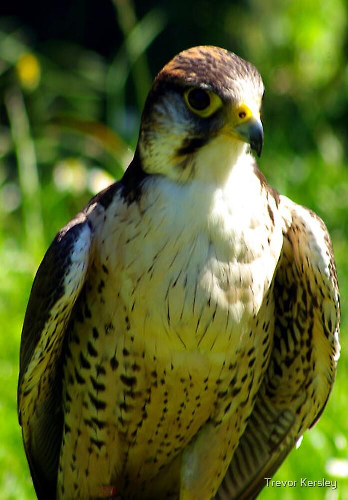 Peregrine Falcon by Trevor Kersley