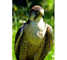 Peregrine Falcon Photographic Print