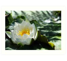 Waterlily flower and lily pad Art Print