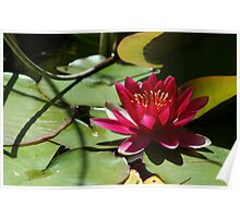 Red lily and lily pad Poster