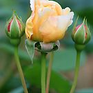 Pretty peach and yellow rose by Joanne Emery