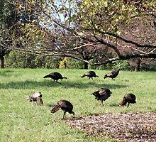 Seven Wild Turkeys Strutting So Free by Barberelli