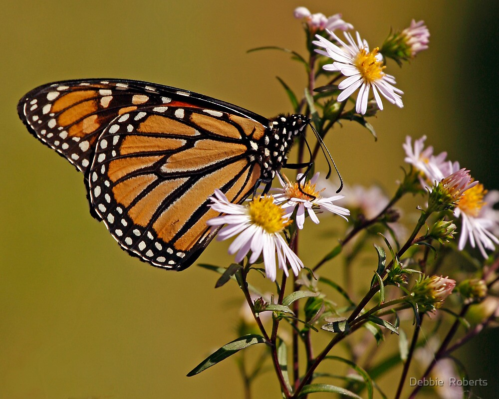 Monarch in the Asters by Debbie  Roberts