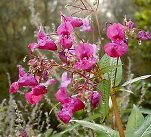 Himalayan Balsam (Impatiens glandulifera) by Detlef Becher