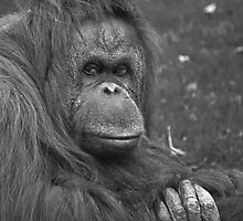 Orangutan at Twycross by JMChown