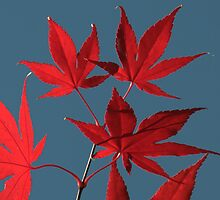 Brilliant Beauty - Red Leaves, Blue Sky by jules572