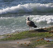 Seagull Watching the Surf by heatherfriedman