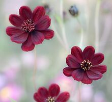 Chocolate Cosmos by Mandy Disher