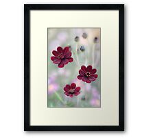 Chocolate Cosmos Framed Print